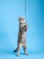 Eine Katze spielt mit dem Baumelball.