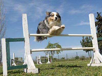 Ein Hund springt über eine Hürde.