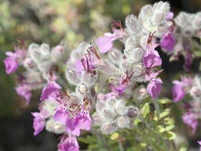 Die Blüten des Katzengamander