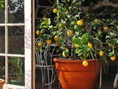 Ein Zitronenbaum im Kübel