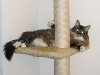 Kratzbaum für große und schwere Katzen - das sollten Sie beachten!