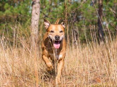 Ein Hund läuft durch hohes Gras.
