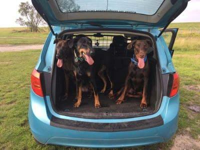 Hunde sollten im Auto gesichert werden.