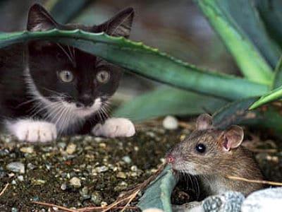 Eine Katze lauert auf eine Maus.