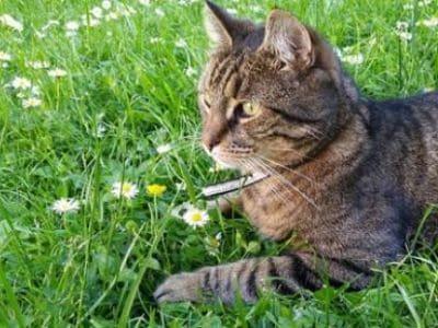 Katze liegt in einer Blumenwiese