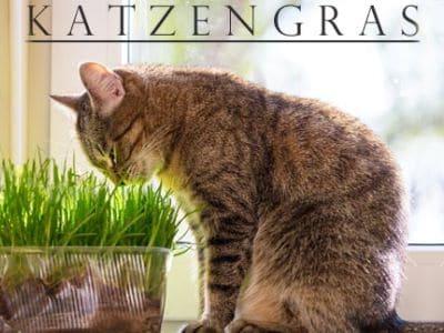 Eine Katze knabbert herzhaft am Katzengras.