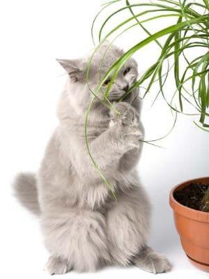 Eine Katze nagt an einer für sie ungiftigen Pflanze