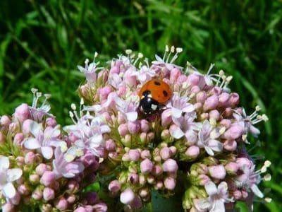 Viele Insekten lieben den Baldrian.